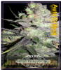 Dispensario Auto Clinical Female 10 Cannabis Seeds
